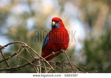 Wild Crimson Rosella