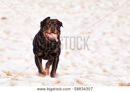 Rottweiler In Snow