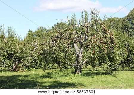 Apples on Trees