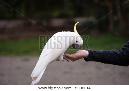 A bright photo of eating cockatoo