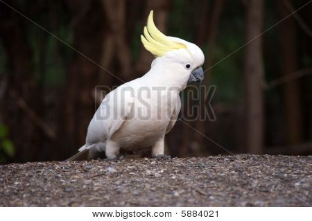 A photo of wild cockatoo.