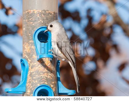 Tufted titmouse, Baeolophus bicolor , looking for seeds at bird feeder in winter