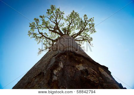 Baobab tree with green leaves on blue clear sky background. Madagascar