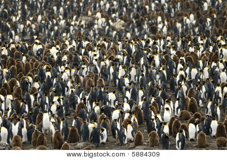 Large Crowded King Penguin Colony / Rookery.