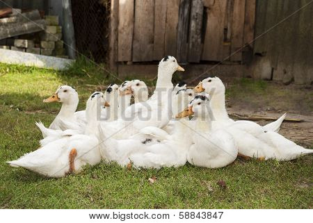 A Flock Of Ducks Sitting On The Grass.