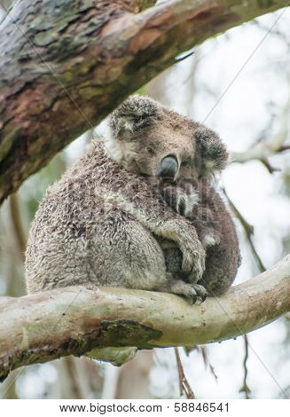 Female wild koala bear with a baby on gum tree during the rain