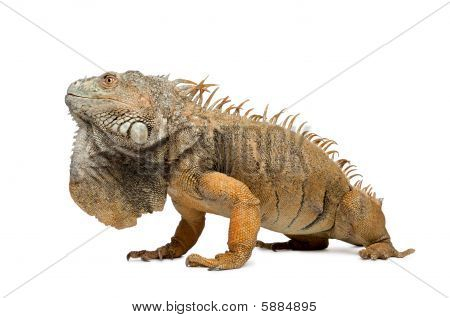 Iguane Vert 6 Ans