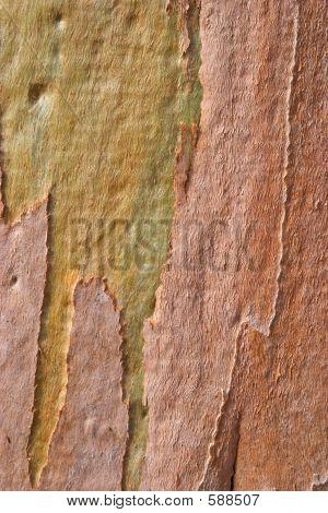 Eucalyptus Tree Rind