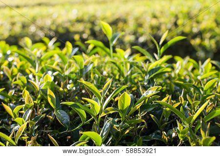 Tea leaves in morning sunlight