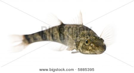 Rhone Streber Fish, Zingel Asper, Against White Background, Studio Shot