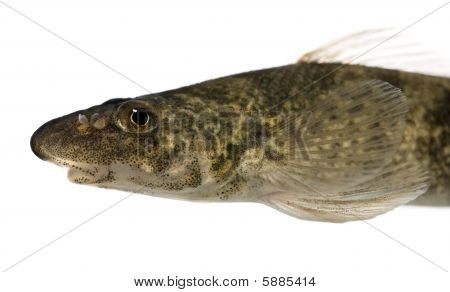 Side View Of Rhone Streber Fish, Zingel Asper, Against White Background, Studio Shot