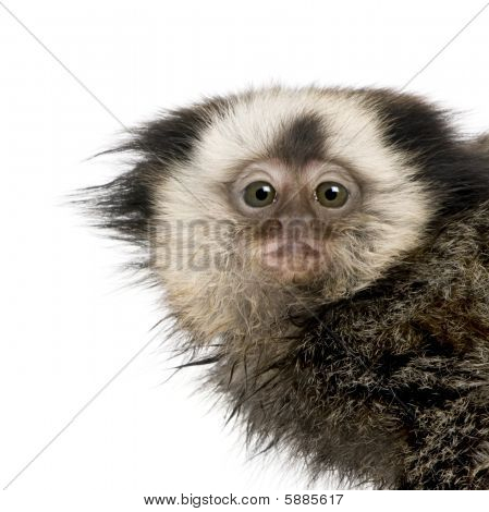 Young White-headed Marmoset in front of a white background