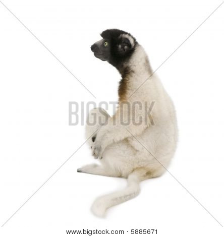 Side View Of Young Crowned Sifaka, Propithecus Coronatus, 1 Year Old, Sitting Against White