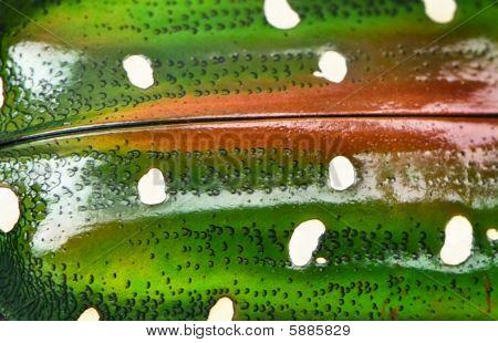 Close-up Of East Africa Flower Beetle, Stephanorrhina Guttata