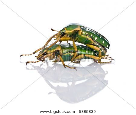 East Africa Flower Beetles Having Sex, Stephanorrhina Guttata, In Front Of White Background, Studio