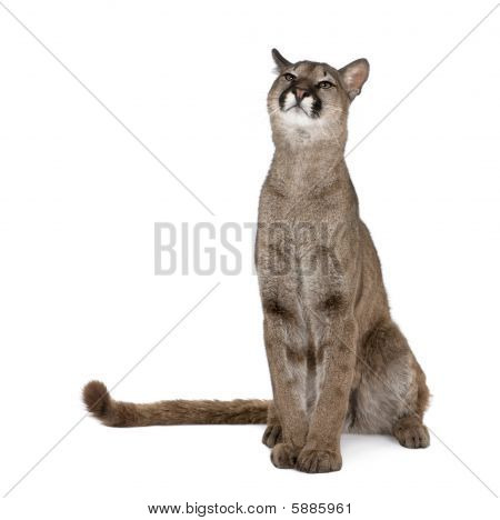 Puma Cub - Puma Concolor (1 Year Old) against white background