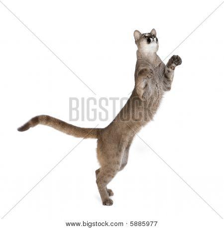 Puma Cub - Puma Concolor (1 Year Old) against white background