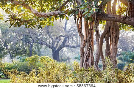 Banyan Tree In India
