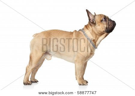 French Bulldog Profile