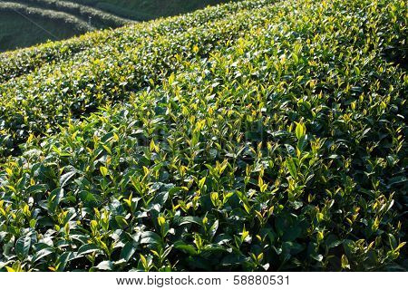 Tea plantation in morning sunlight