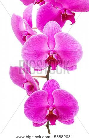 Orchid radiant flower