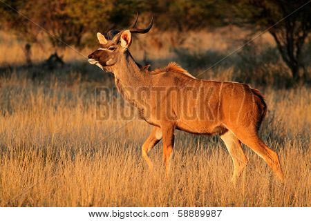 Kudu antelope (Tragelaphus strepsiceros) in early morning light, South Africa