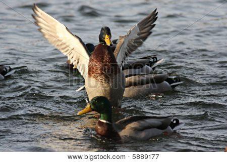 Mallard Duck Flapping Wings