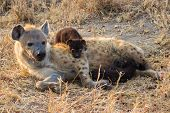 pic of hyenas  - Hungry hyena pups drinking milk from mother suckle lying down