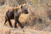 foto of hyenas  - Small hyena pup playing walking outside its den in early morning sun - JPG