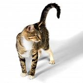 pic of yellow tabby  - Young Brown Tabby Kitten Cat isolated on White Background - JPG