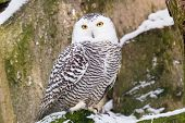 stock photo of snowy owl  - Snowy Owl in ZOO Liberec in Czech Republic - JPG