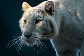 image of white-tiger  - A white tiger emerging from the shadows