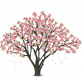 stock photo of eastern culture  - Sakura blossom  - JPG