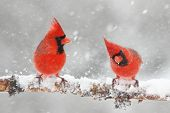 stock photo of cardinals  - Male Northern Cardinals  - JPG