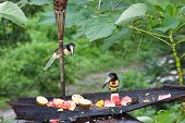 pic of toucan  - Aracari toucans looking over offerings of fresh fruit at a jungle resort in Belize - JPG