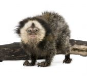 Young White-headed Marmoset, Also Known As The Tufted-ear Marmoset against white background poster