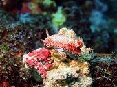 picture of cebu  - Underwater inhabitants of sea depths of strait Cebu - JPG