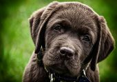 stock photo of labradors  - Cute chocolate labrador puppy - JPG