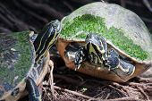 picture of terrapin turtle  - Painted turtle in wildlife on the waters edge in soft focus - JPG