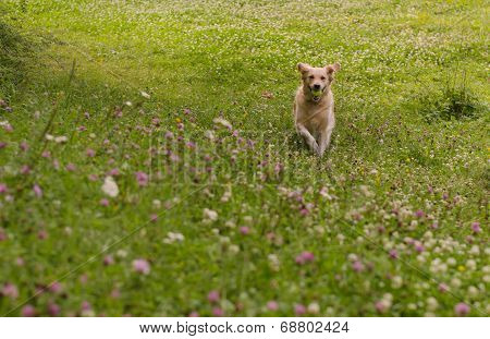 Running dog trough the green meadow