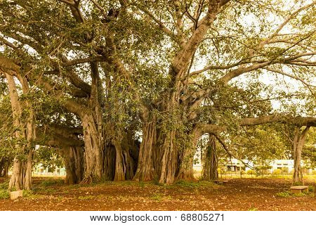A very thick central trunk of a banyan tree