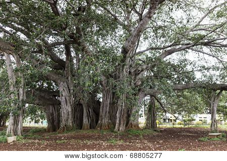 Thick central trunk of a banyan tree