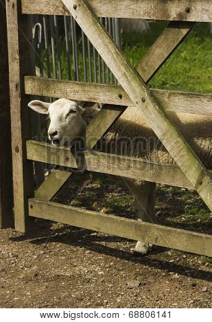 Lamb looking through a wooden gate in a field
