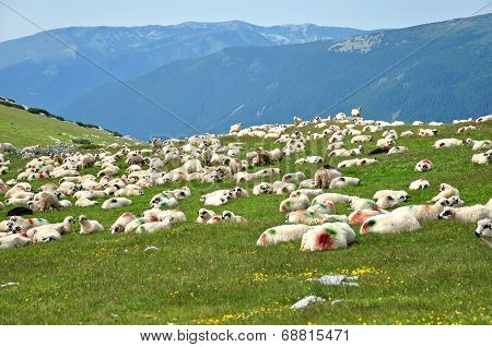 Sheep With Paint Markings In A Green Meadow