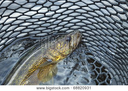 Close Up Of A Nice Walleye In The Net