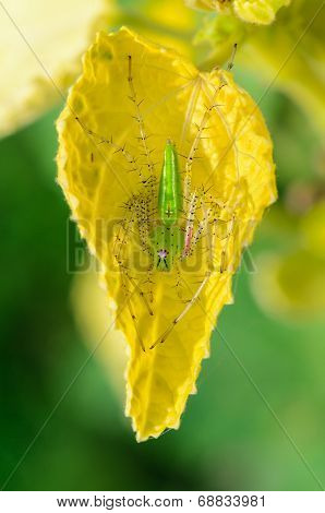Green Lynx Spider Is A Conspicuous Bright-green Spider Found On Plant Leaves