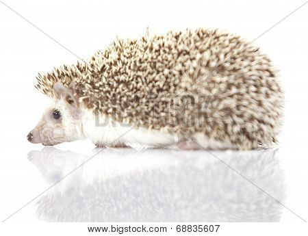 Young hedgehog