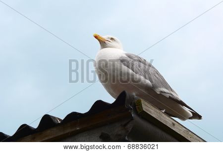 Gull Sitting On A Corrugated Iron Roof