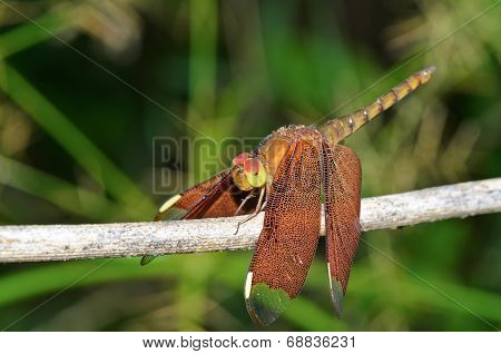Russet Dragonfly Or Neurothemis Fulvia Female