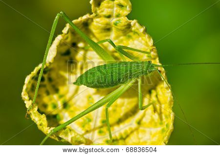 Speckled Bush Cricket  ( Leptophyes Punctatissima )